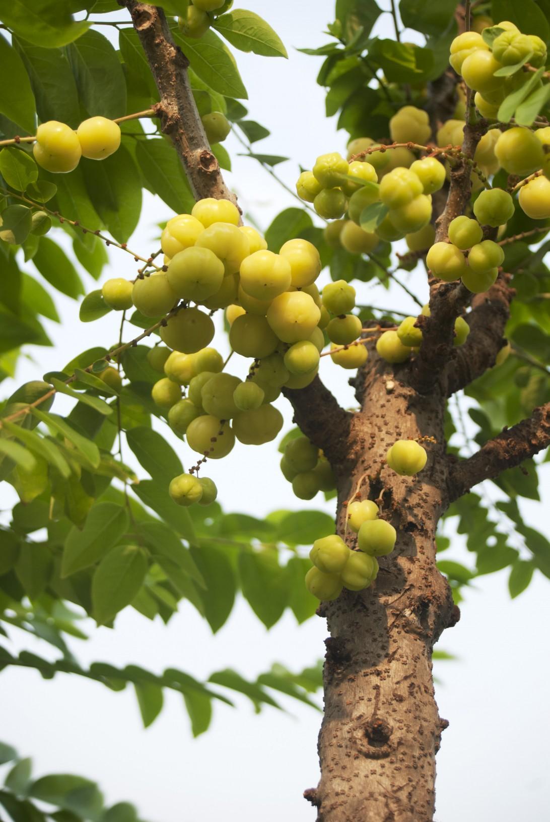 My Sunday Photo: Grandma's Fruits Farm - Star Gooseberry