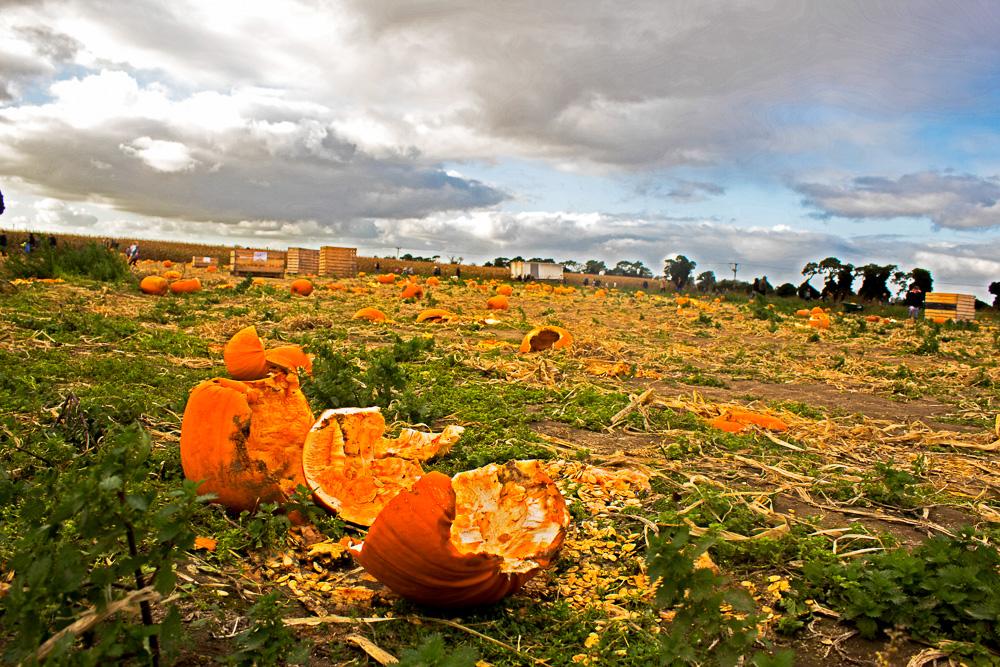 Undley Pumpkin Patch and Maize Maze